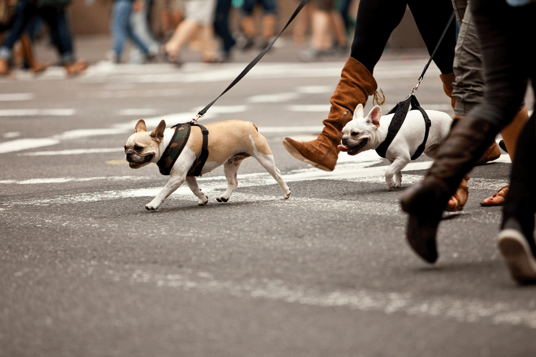 Small dogs on leashes walking across busy Toronto crosswalk in Liberty Village