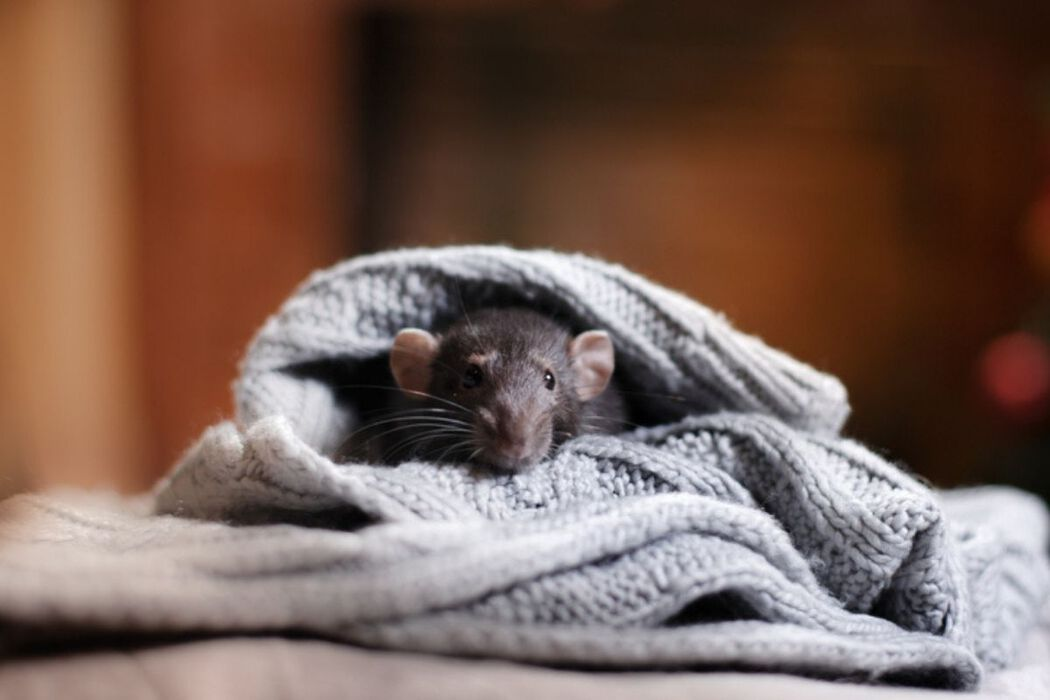 mouse hiding in new homeowner's clothing