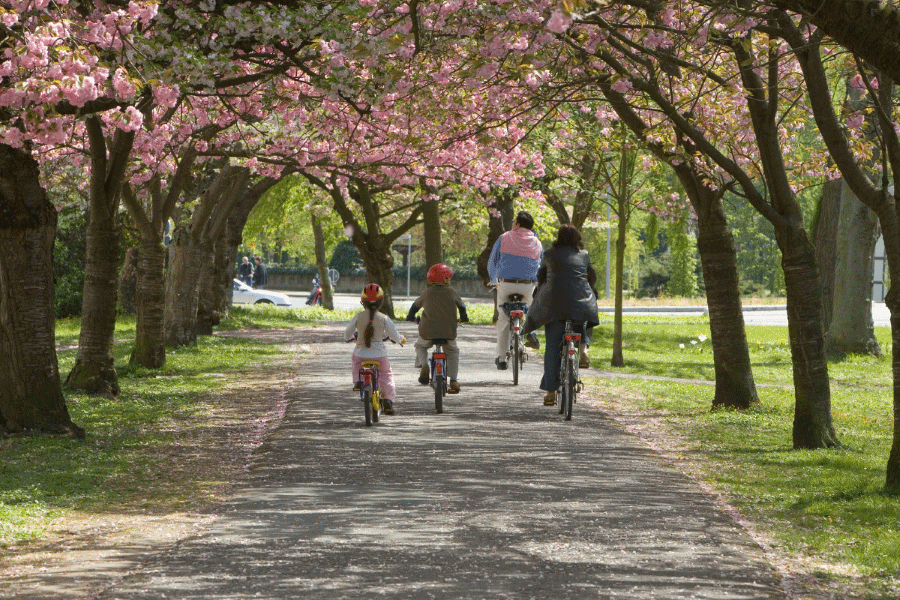 Family riding bikes down a paved trail overhung by blossoming cherry trees
